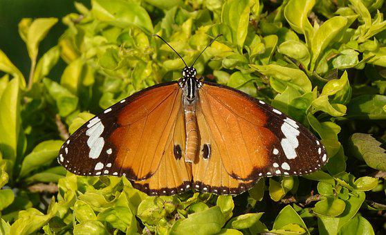 Butterfly, Insect, Plant, Plain Tiger, African Queen