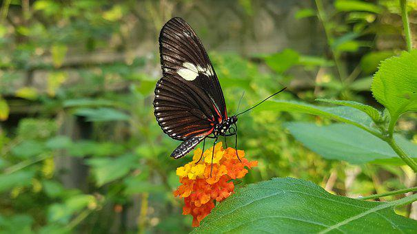 Butterfly, Insect, Flowers, Heliconius Melpomene