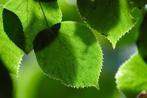 Linden, Leaves, Foliage, Greenery, Plant, Flora, Forest