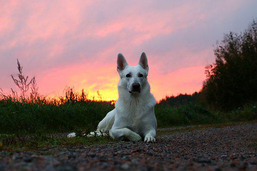 White Shepherd, Dog, Animal, Pet, White Dog