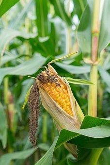 Corn, Crop, Plantation, Plant, Farm, Cropland