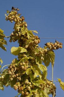 Hops, Hops Fruits, Umbel, Genuine Hops, Beer Brewing
