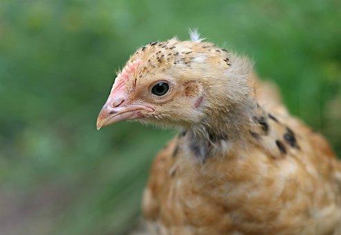 Chicken, Head, Eyes, Village, Cock, Bird