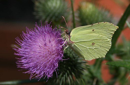 White, Butterfly, Thistle, Insect, Summer, Butterflies