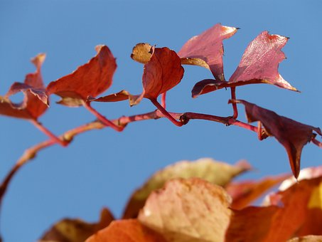 Wine Partner, Vine Leaves, Grapevine, Ranke, Coloring