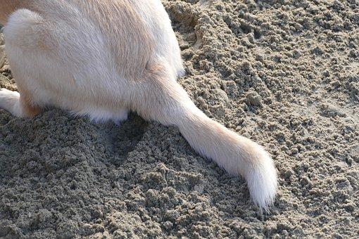 Dog, Tail, Animal, Furry, Dog Cock