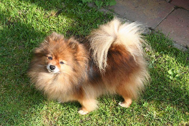 Dwarf K, Orange-sable, Doggy, Guard Dog