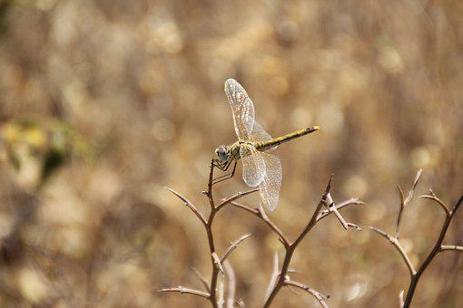 Dragonfly, Nature, Insect, Brown, Wildlife