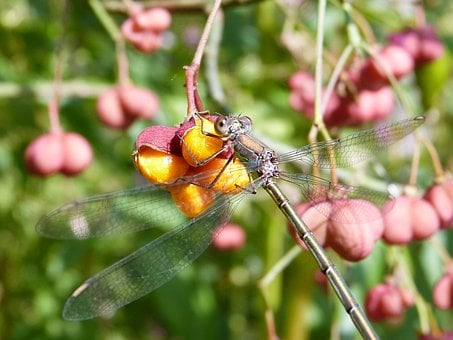 Dragonfly, Bins Bridesmaid, Female, Spindle, Insect