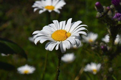 Chamomile, Flower, Matricaria Chamomilla, Flora, Plant