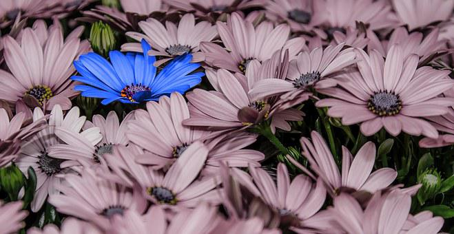 Flowers, Osteospernum, Blue, Pink, Close, Pano