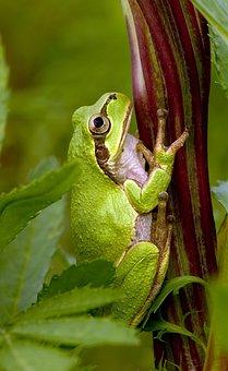 Tree Frog, Frog, Japanese Tree Frog, Hyla Japonica