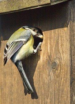 Great Tit, English Garden Bird, Nesting Box In Garden