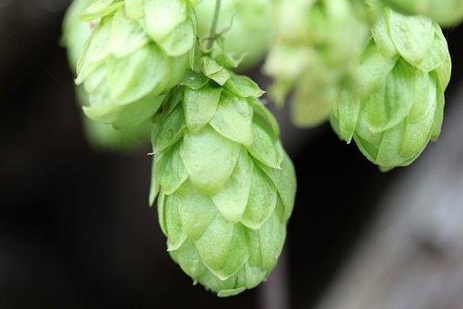 Hops, Humulus Lupulus, Climber Plant, Umbel