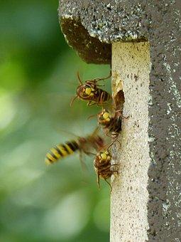 Hornets, Vespa Crabro, Animal, Insect, Wasp, Vespidae