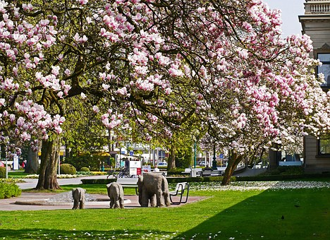 Magnolia Blossom, Kurpark, Bad Rothenfelde, Kurhaus