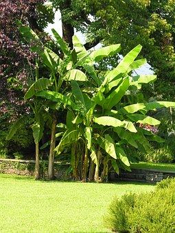 Banana Shrub, Villa Taranto, Lago Maggiore