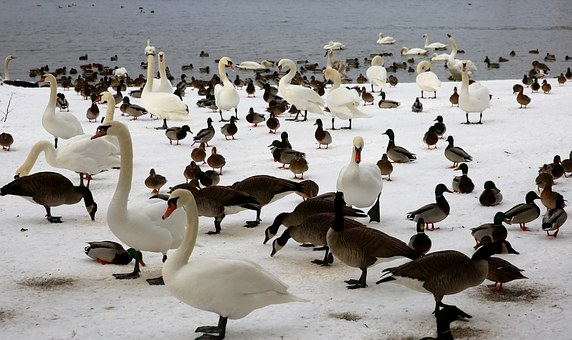 Winter, Animals, Birds, Below, Cocks, Havel, Nature