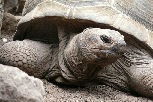 Turtle, Tortoise, Close, Panzer, Giant Tortoise
