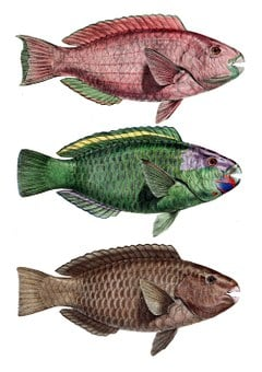 Parrot Fish, Perch, Chlorurus Troschelii, Notched Bar