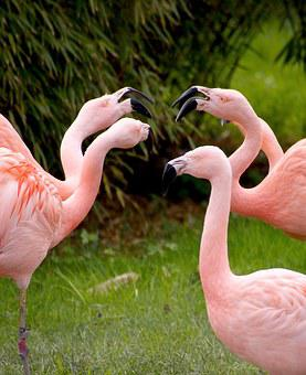 Flamingos, Birds, Pink, Animals, Bird, Zoo, Water Bird