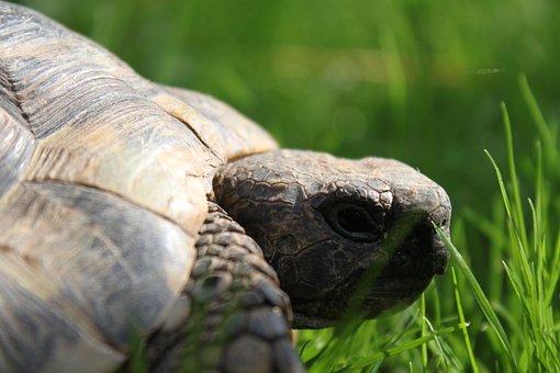 Turtle, Reptile, Animal, Panzer, Tortoise