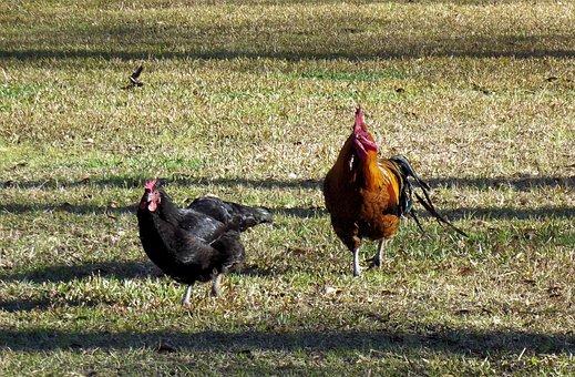 Rooster, Hen, Chickens, Running, Farm, Bird, Poultry