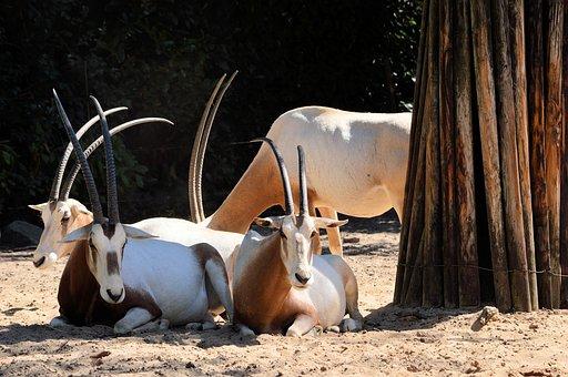 Sable, Antelope, Animal, Wildlife, Wild, Zoology