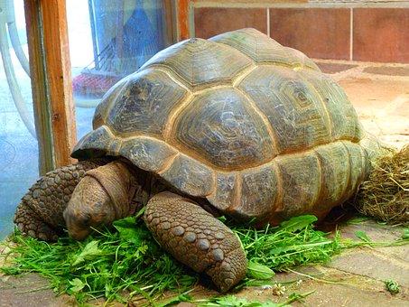 Giant Tortoise, Genuine Tortoise, Testudinidae, Turtle