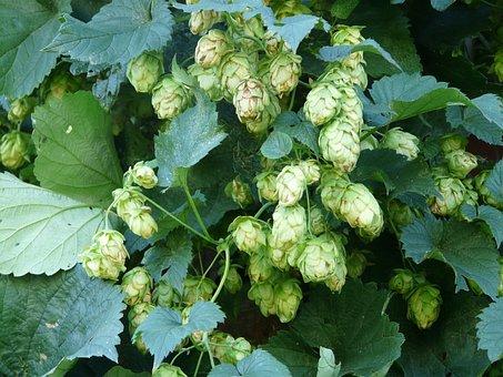 Hops, Plant, Humulus, Hops Fruits, Umbel, Genuine Hops