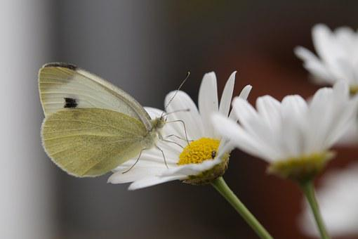 Butterfly, White, Large Cabbage White Ling, Food Intake