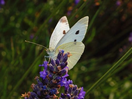 Butterfly, White, Insect, Butterflies, Animal, Nature