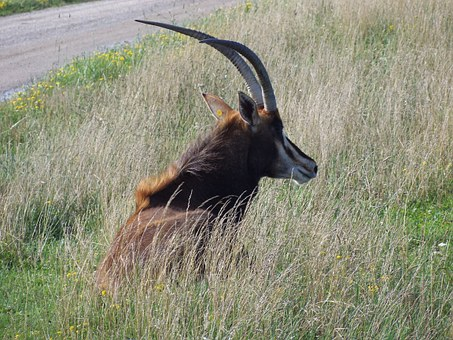 Antelope, Sable Antelope, The Wilds, Horned, Wildlife