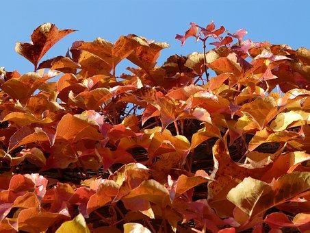 Vine Leaves, Wine Partner, Coloring, Red, Autumn