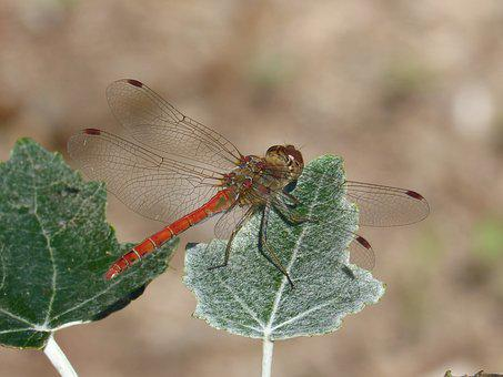 Dragonfly, Leaf, Poplar, Winged Insect