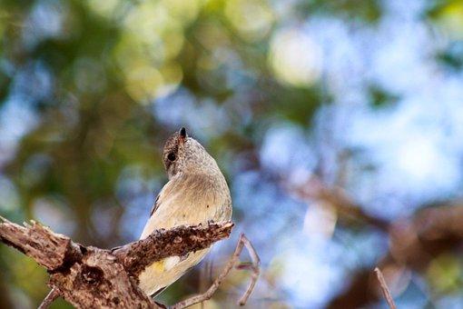 Golden Whistler, Bird, Australian Bird, Wildlife