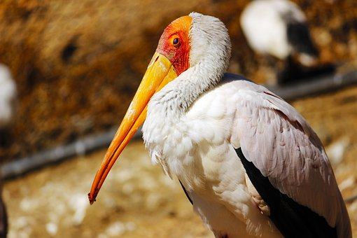 Yellow Billed Stork, Animals, Nature, Ave, Stork