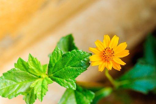 Wedelia, Flower, Leaves, Bay Biscayne Creeping-oxeye