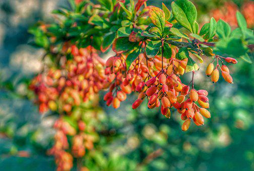 Barberries, Berries, Fruits, Leaves, Foliage, Harvest