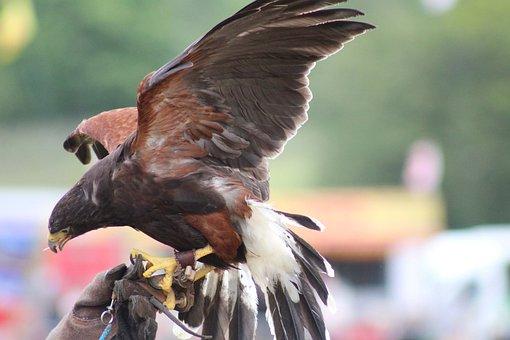 Hawk, Bird, Wildlife, Predator, Bird Of Prey, Raptor