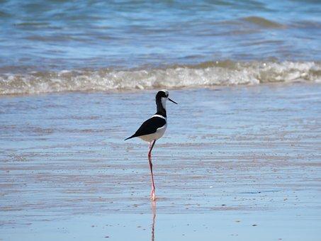 Black-winged Stilt, Bird, Sea, Ocean, Coast, Shore