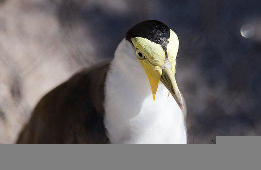 Masked Lapwing, Bird, Zoo, Spur-winged Plover, Animal