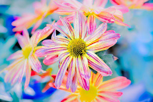 Chrysanthemums, Flowers, Multicolored, Bloom, Blossom