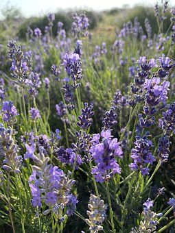 Lavender, Flowers, Field, Aromatic, Bloom, Blossom
