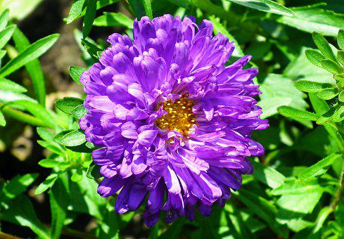 Flower, Aster, Bloom, Blossom, Plant, Flora