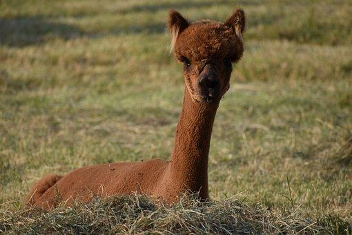 Alpaca, Animal, Meadow, Brown Alpaca, Mammal, Livestock