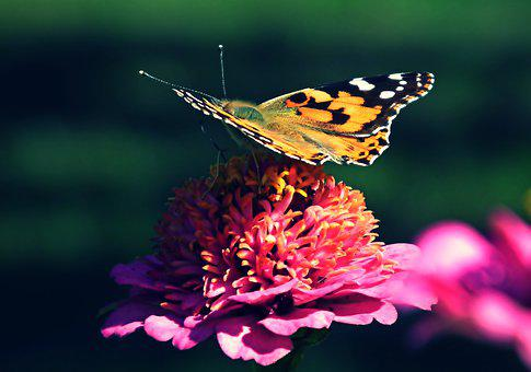 Butterfly, Insect, Flower, Painted Lady, Animal