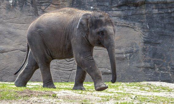 Elephant, Calf, Zoo, Young Elephant