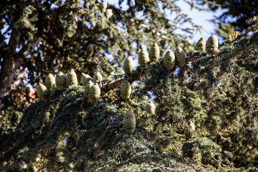 Cedar, Cones, Tree, Branches, Pine, Coniferous, Plant