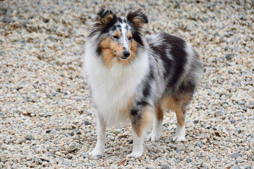 Sheltie, Dog, Animal, Doggie, Doggy, Shetland Sheepdog